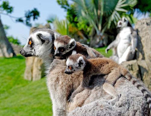 Bioparc Valencia - Lemures con s us crías - 2011_kl