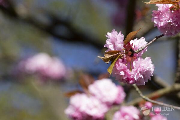 Kirschblüten in Köln